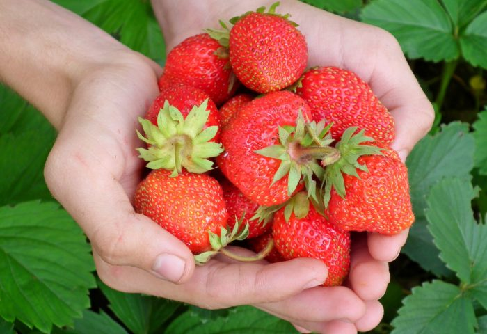 berry-strawberry-hands-leaves-65271.jpeg
